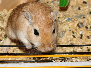 Gerbilling - Gerbils are the most common rodents to be allegedly inserted.