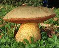 2010-09-13 Boletus luridus Schaeff 104527 crop.jpg