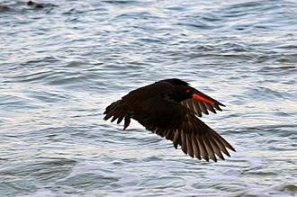 Sooty oystercatcher - Image: 20110821 Sooty Oystercatcher in flight 3 of 3