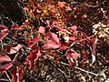2013-10-15 13 34 01 Dogwoods at Power House Picnic Site in Lamoille Canyon, Nevada.jpg