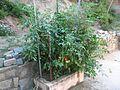 2014-11-01 - Pé de Tomate (2).JPG
