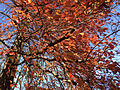 2014-11-02 12 47 55 Black Tupelo foliage during autumn at The College of New Jersey in Ewing, New Jersey.JPG