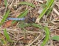 2014.07.16.-18-Zadlitzgraben Pressel--Kleiner Blaupfeil-Maennchen.jpg