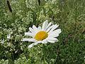 20140523Leucanthemum vulgare2.jpg