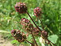 20140523Sanguisorba minor1.jpg