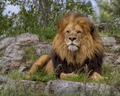 20140812 Lion IMG 0813.png