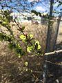2015-03-25 13 12 37 Siberian Elm immature seeds along Silver Street in Elko, Nevada.JPG