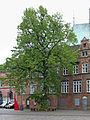 2015-05 ND01 Lübeck Silberlinde.jpg