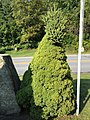 """2017-09-10 16 26 06 Alberta Spruce reverting to """"natural"""" White Spruce foliage and growth pattern along Old Mill Road just east of Ice Pond Road in the East Arlington section of Arlington, Bennington County, Vermont.jpg"""