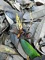 2017-09-26 Ophiocordyceps oxycephala (Penz. & Sacc.) G.H. Sung, J.M. Sung, Hywel-Jones & Spatafora 791856.jpg