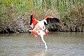 20170425 147 Camargue Flamingo (34422718336).jpg