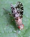 2017 08 21 Trypetoptera punctulata.jpg