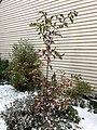 2018-11-15 07 41 13 Snow and sleet on a White Oak sapling in the Franklin Farm section of Oak Hill, Fairfax County, Virginia.jpg