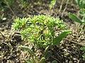 20180614Scleranthus annuus1.jpg