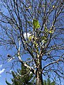 2020-05-30 14 53 49 An American sycamore with a severe infection of Sycamore anthracnose along Tranquility Lane in the Franklin Farm section of Oak Hill, Fairfax County, Virginia.jpg