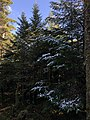 2020-10-17 14 18 56 Balsam Firs covered in a light coating of snow along the Lookout Rock Trail on Equinox Mountain in Manchester, Bennington County, Vermont.jpg