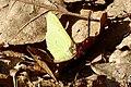 20200408 citroenvlinder.jpg