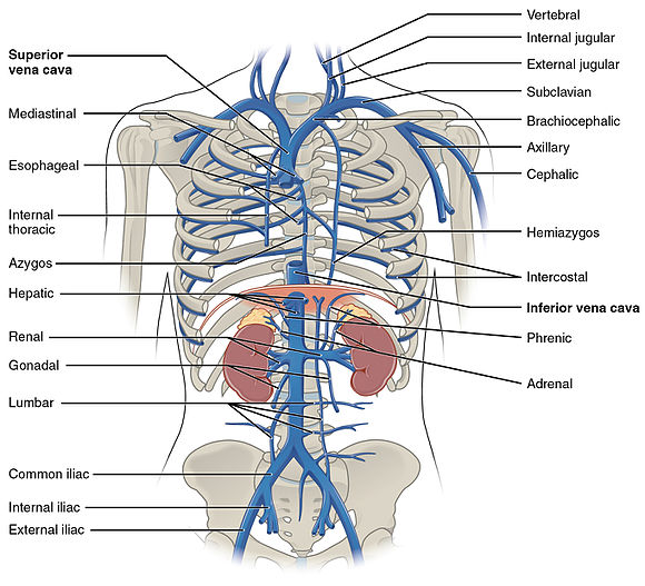 brachiocephalic vein - wikiwand, Human Body