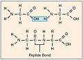 224 Peptide Bond-01.jpg
