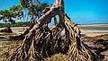 3- mangues ilha de Marajó -.jpg