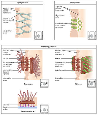 Intestinal epithelium - Image: 402 Types of Cell Junctions new