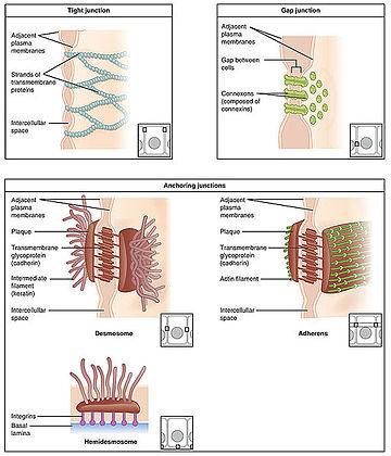 Intestinal epithelium Wikipedia