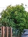 46-101-5021 Lviv Kybalchycha 11 Smoke Tree RB 18.jpg