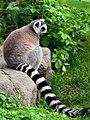 50 Jahre Knie's Kinderzoo Rapperswil - Lemur catta 2012-10-03 15-32-29.JPG