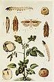60-Indian-Insect-Life - Harold Maxwell-Lefroy - Phthorimaea-operculella.jpg