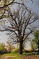 71-212-5059 Zvenygorodka Oak DSC 4859.jpg