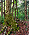 ANF Old-Growth Forest (1).jpg