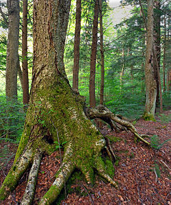 Old-growth birch within the Allegheny National Forest in the township