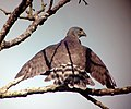 A Crested Goshawk in the Anamalai hills.jpg
