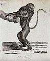 A Proboscis monkey standing upright holding on to a branch o Wellcome V0020906ER.jpg