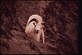 A Young Ram at the West Salt Lick in Atigun Gorge, near the Point Where the Pipeline Will Cross the Atigun River 08-1973 (3971997554).jpg