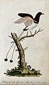 A bird of paradise sitting on a branch of a tree. Coloured e Wellcome V0021332EL.jpg