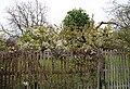 A clematis at Matching Tye, Essex, England.jpg