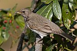 A dark-throated Thrush female - Dhanachuli, Uttarakhand India.jpg