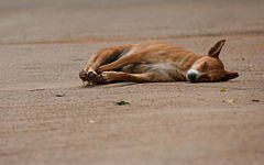 A dog sleeps in road, Lalbagh, India.jpg
