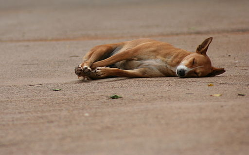 A dog sleeps in road, Lalbagh, India