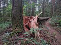 A fallen tree on Lower Little Death trail - panoramio.jpg