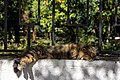 A feral cat in Divnomorskoe, Russia.jpg