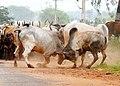 A fight in a flock, Madurai.jpg