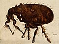 A flea (Siphonaptera species). Painting. Wellcome V0022507.jpg