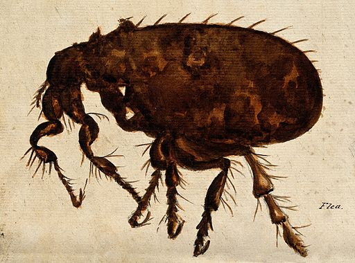 A flea (Siphonaptera species). Painting. Wellcome V0022507 dog flea treatment