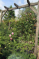 A flowering rose and trellis in Great Waltham, Essex, England.JPG