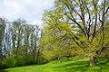 A large tree in spring leaves next to a footpath (Masmostigen and Huddingeleden) at Gömsta ängs naturreservat.jpg