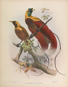 A monograph of the Paradiseidae or birds of paradise (Plate V) BHL44792737.jpg