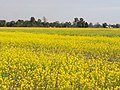A mustard field in North Lakhimpur, Assam.jpg