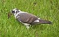 Ab bird 003.jpg